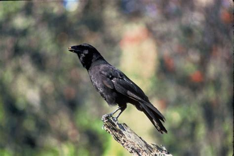 Hawaiian Crow bird
